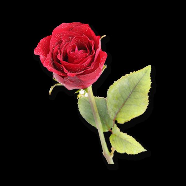 Alpha Gamma Sigma Flower - American Red Rose