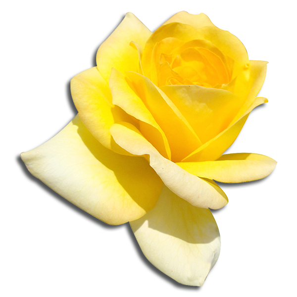 Alpha Sigma Phi Flower - Yellow Tea Rose