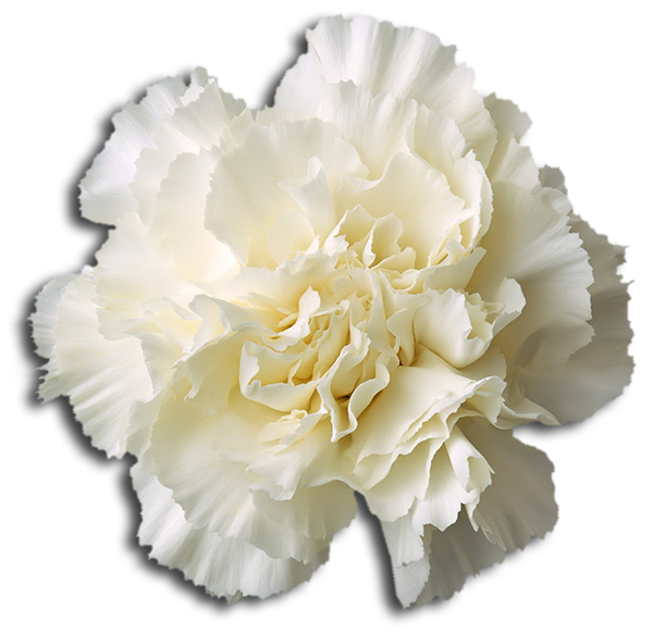 Delta Chi Flower - White Carnation