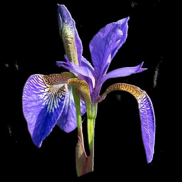 Delta Phi Epsilon Flower - Purple Iris