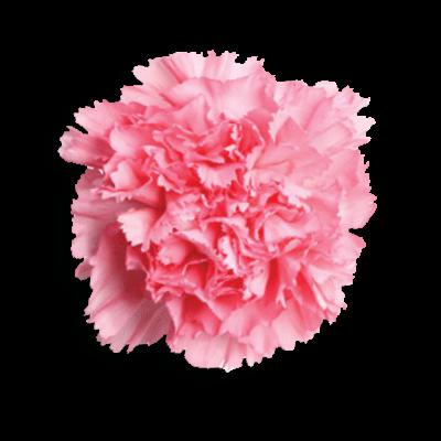 Gamma Phi Beta Flower - Pink Carnation