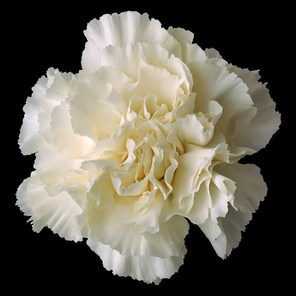Kappa Alpha Society Flower - White Carnation