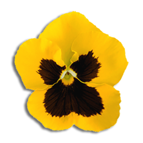 Kappa Alpha Theta Flower - Black and Gold Pansy