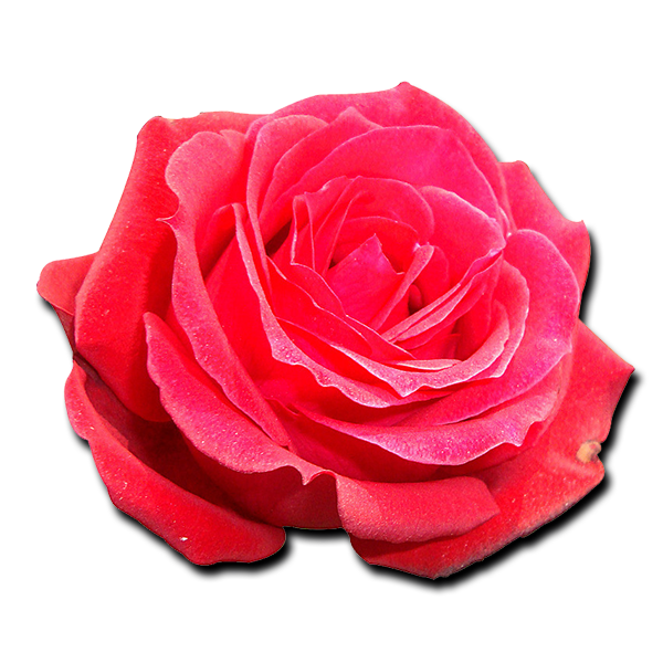 Phi Sigma Sigma Flower - American Beauty Rose
