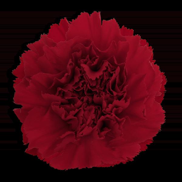 Pi Beta Phi Flower - Wine Carnation