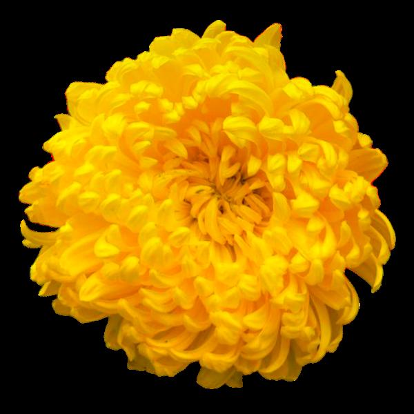 Sigma Alpha Flower - Yellow Chrysanthemum