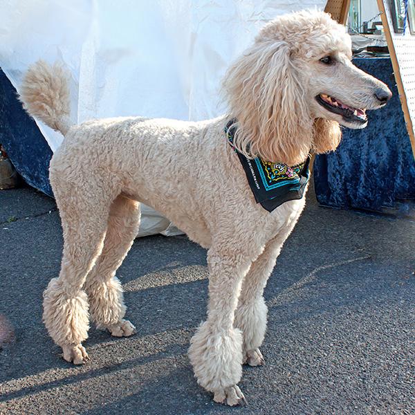 Sigma Gamma Rho Mascot - The Poodle
